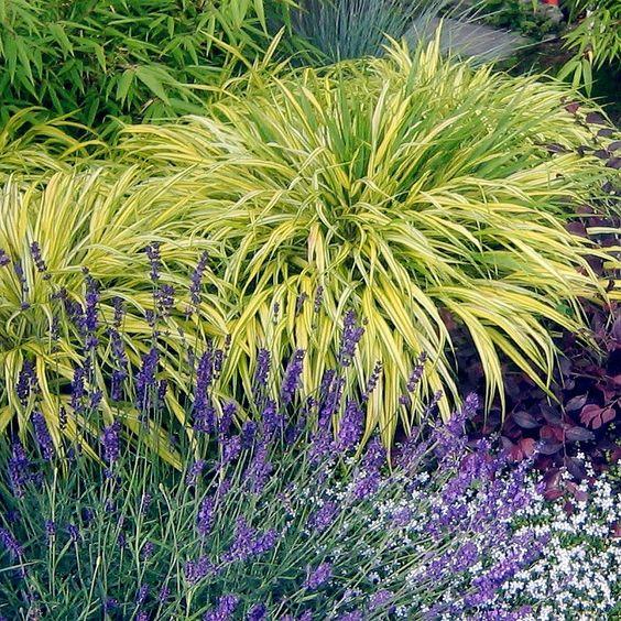 """Acorus gramineus 'Ogon' - aka Japanese Sweet Flag- part to full shade, moist soil, 10"""" H x 4-6""""W"""