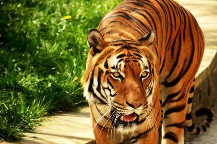 International Tiger Day: 17 interesting tiger facts www.sta.cr/2rC83
