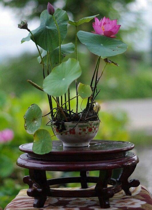 Kết quả hình ảnh cho lotus flower  bonsai