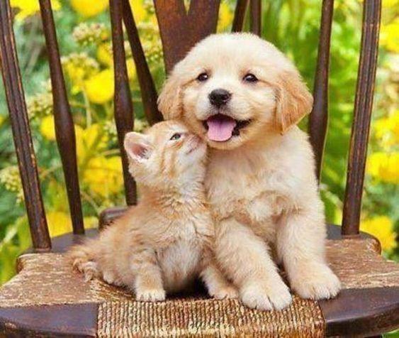 ネコにキスされるかわいいゴールデンレトリバーの壁紙