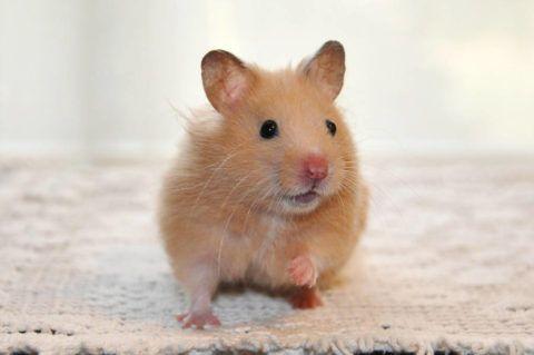 ハムスターで人気の10種類を紹介 飼いやすい種類や値段 性格を知ろう Woriver ハムスター キンクマ キンクマハムスター