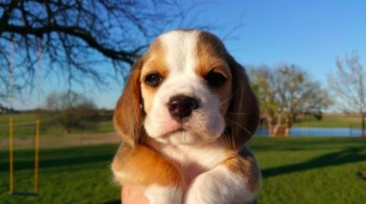 Have You Been Thinking About Adopting A Beagle This Is Your Sign