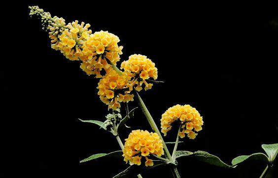 Buddleja in gelb,  ... . hab ich einige in meinem Garten. Aber auch in verschiedenen Blau- und Pinktönen. Die Insekten freuen sich und ich auch. :-)