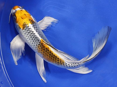 With a distinctive color of koi fish butkoi have fins and for Koi fish tail