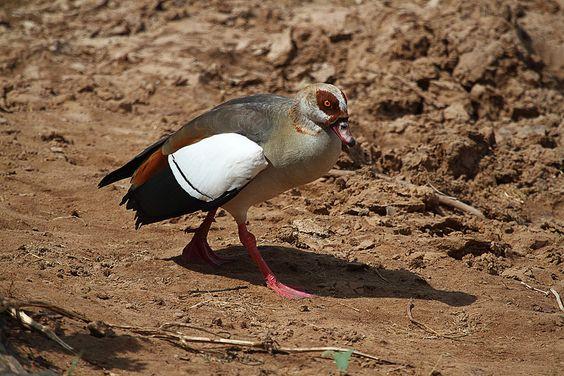 Ganso de Egipto (Alopochen aegyptiaca)