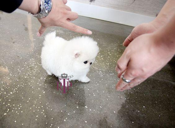 Newborn Teacup Pomeranian Puppies 42296 | BITNOTE