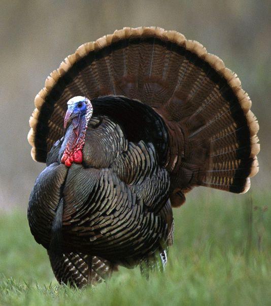 Wild turkeys - experiencing a massive revival in northern California.