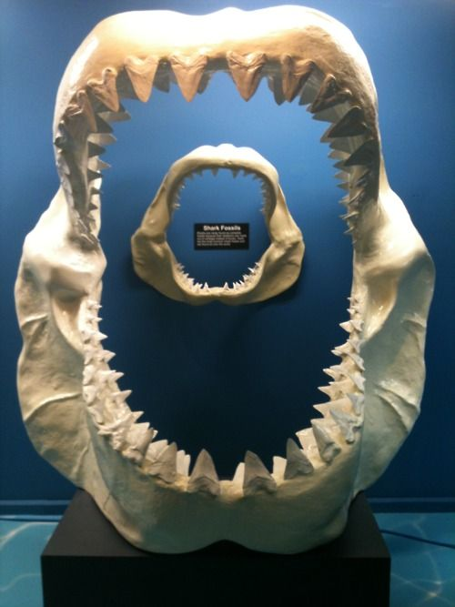 The gallery for --> Megalodon Shark Jaw Compared To Great ...