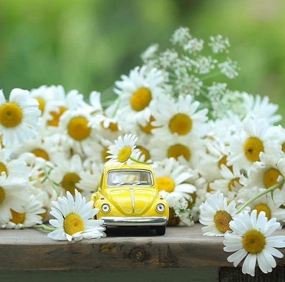 Pin By Ramy Sheikh Muhammed On Margherite Cool Pictures For Wallpaper Miniature Photography Daisy Love