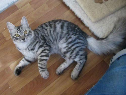 Sir Anamura Black Silver Mackerel Tabby Turkish Angora Turkish Angora Cat Silver Tabby Cat Angora Cats