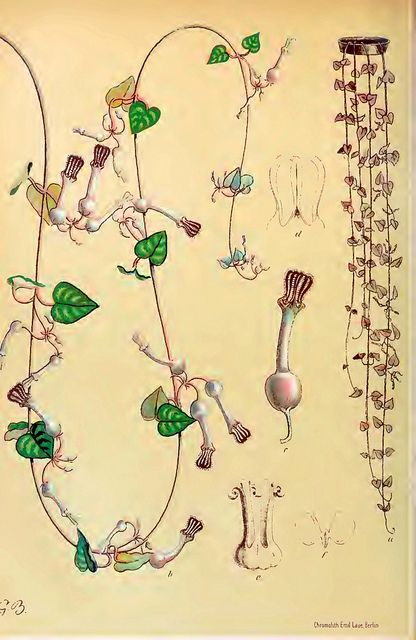 Chain of hearts, Rosary vine (Ceropegia woodii) Gartenflora. Volume 50, (1901) | by Swallowtail Garden Seeds