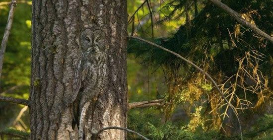 Very beautiful camouflage pattern of an owl to disguise itself completely within its surroundings.