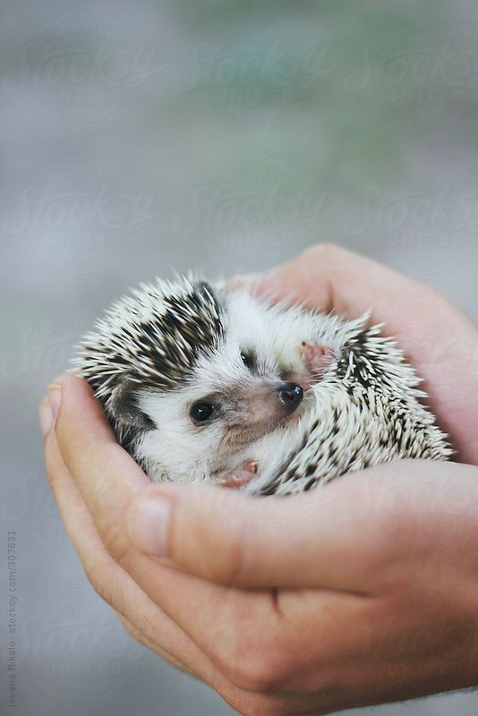 Person holding an adorable hedgehog:
