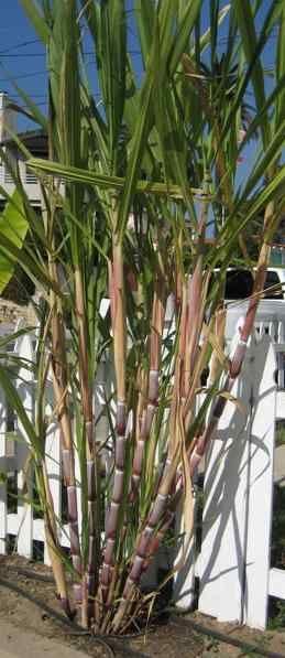 Sugar cane #plants #hardy #garden #gardening #gardenTips