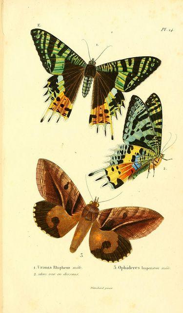 Mariposas de Madagascar (1833)