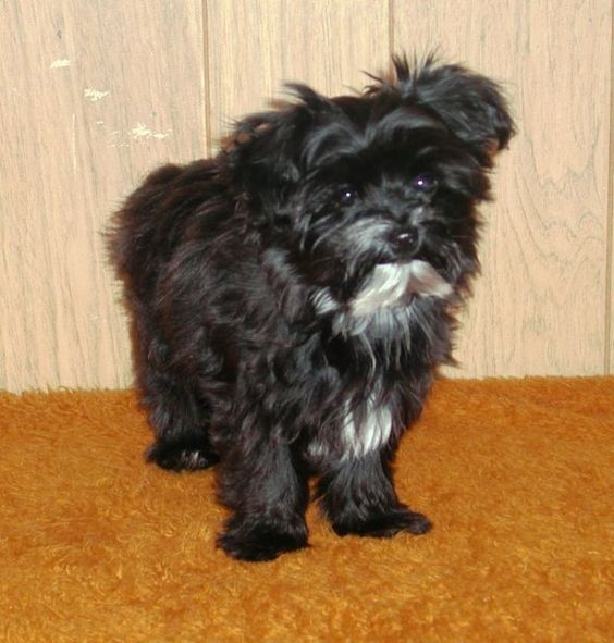 yorkie poo black this is what i am looking forward too black 9142