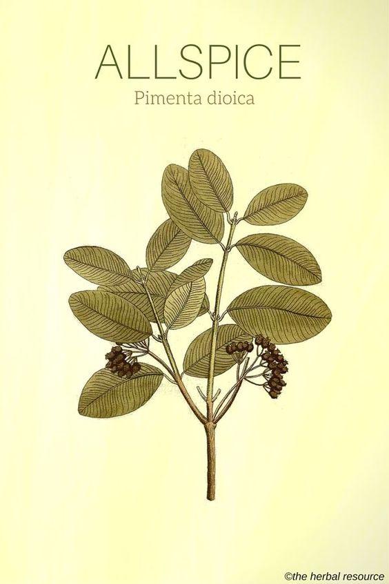 Allspice Pimenta dioica