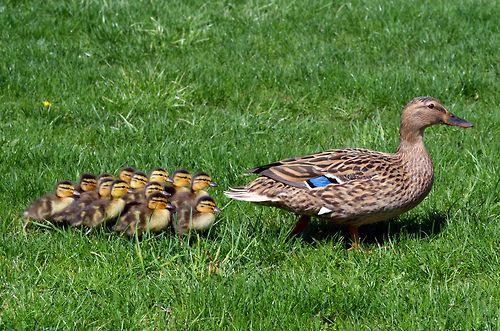 PHOTO OP: Duckling Fieldtrip Via Scott Kinmartin.