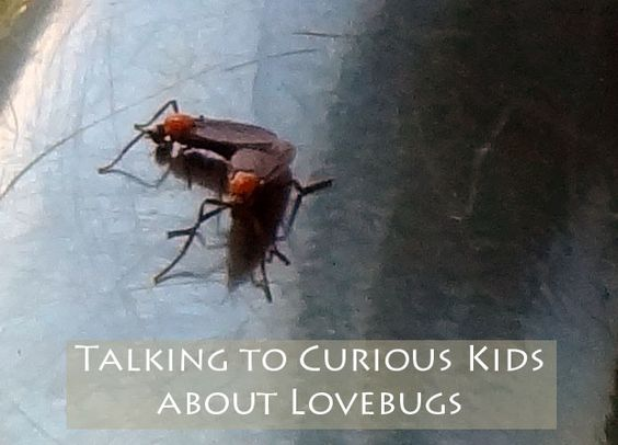 "{Talking to Curious Kids about ""Lovebugs""} However, they do bring up questions by many curious kids.  Why does that bug have two heads?  Why is there two of them?  Why are they connected together? ;-)"