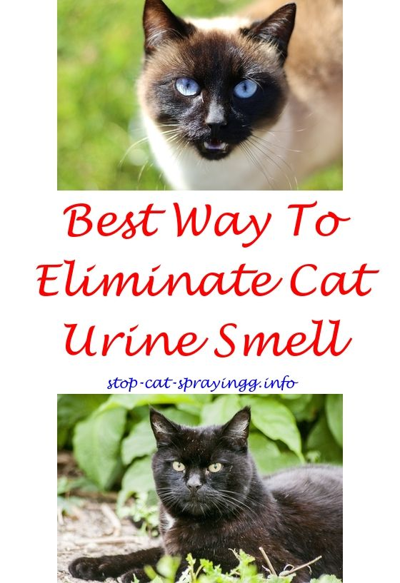 Cat Pee Essential Oils Male Cat Spraying Cat Urine Smells Cats