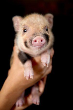 Micro mini pigs are the cutest!