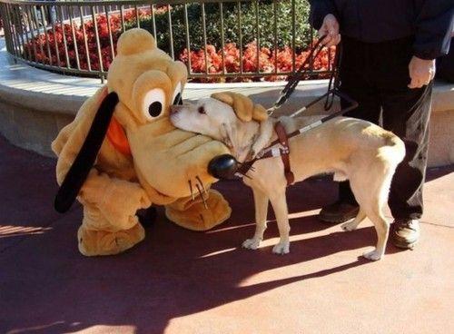 A guide dog meeting Pluto at Disneyland.