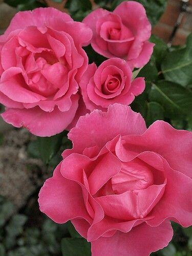 Rose : The McCartney Rose ♡