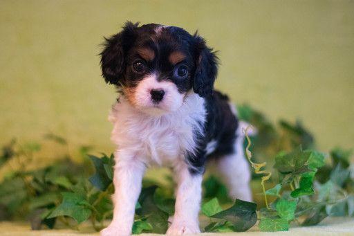 Cavalier King Charles Spaniel Puppy For Sale In Kent Oh Adn 65317 On Puppyfinder Com Gen King Charles Cavalier Spaniel Puppy Spaniel Puppies For Sale Puppies