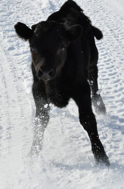 A calf playin' in the snow