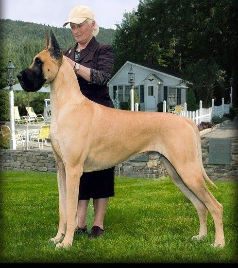 Gch Ch Lobato S Jitterbug Man Our Dog2watch The Great Dane Gch