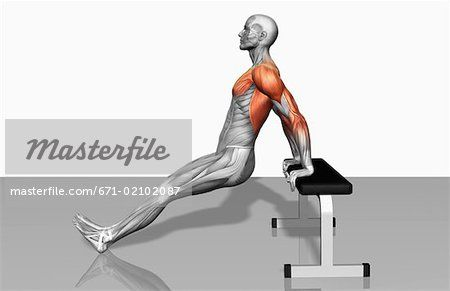 tricep dips muscles worked body beautiful let s lift