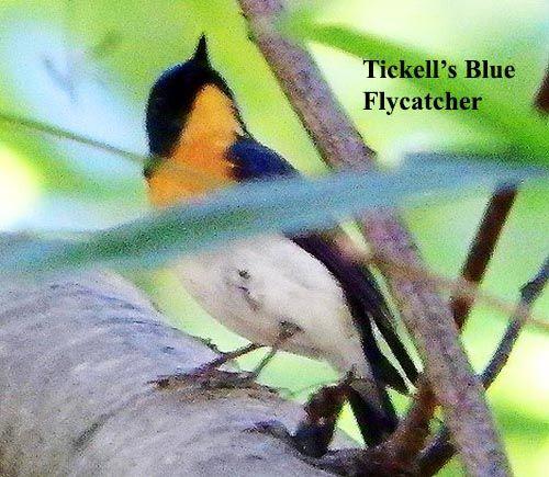 Tickell S Blue Flycatcher Bird Photo Bird Photo Doi Inthanon National Park Bird Watching
