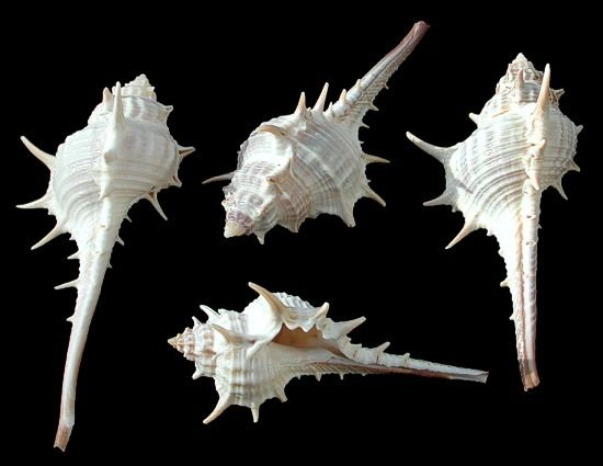 conch spikey - Google Search