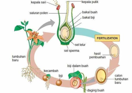 Perkembangbiakan Generatif Pada Tumbuhan Plant Life Cycle English Vocabulary Life Cycles