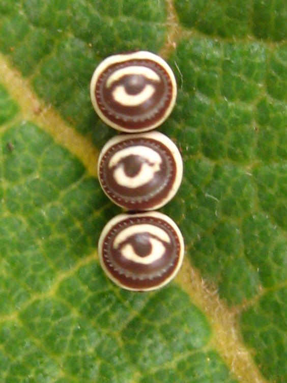 Butterfly Eggs on Leaf. Michael Euphrat.