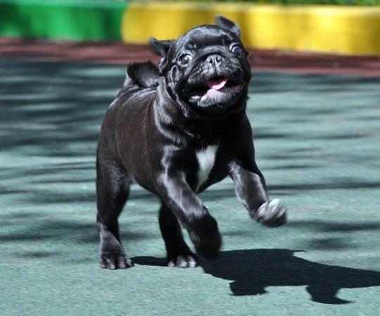 Cute Black Pug Puppy Pugs Got To Love Them Black Pug