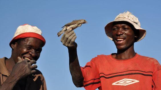 Los pájaros salvajes que buscan miel para los hombres - Wild honey birds looking for men.