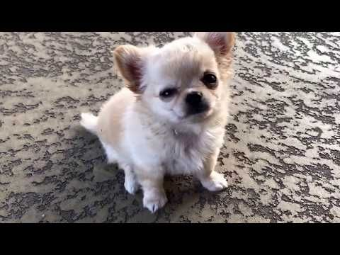 Tiny Chihuahua Puppy Talking Already Youtube Chihuahua