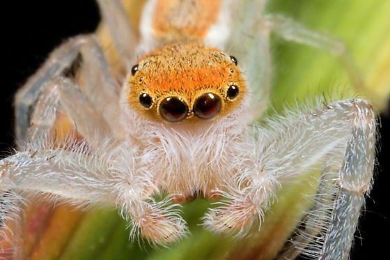 spider - Hentzia mitrata