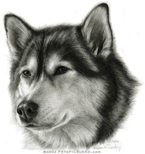 Alaskan Malamute Cats And Dogs Featured In Pencil Portraits By Susan Donley Www Art4petz Com Animal Drawings Dog Drawing Pencil Portrait