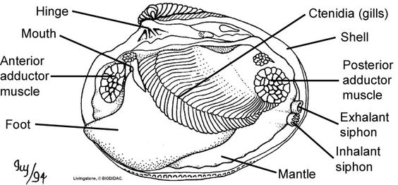 the internal features of a bivalve clam  left valve removed