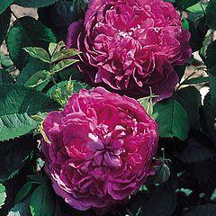 Reine des Violettes - David Austin Roses