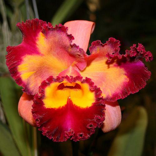 Blc Chinese Beauty Cattleya Flowers Chinese Beauty