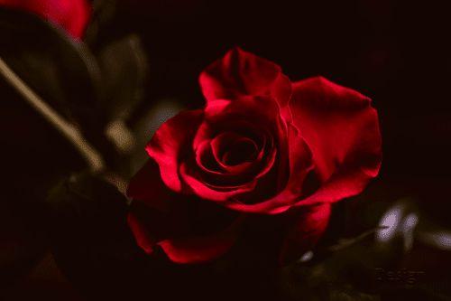 Terbaru 15 Gambar Bunga Mawar Hitam Layu Daun Musim Gugur Layu Alam Kering Gambar Bunga Mawar Abstrak 30 Aneka Jenis Bunga Mawar Hitam Bunga Gambar Bunga