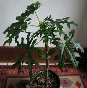 Mayan Chaya  Food Tree Spinach  White by treasureislandlady