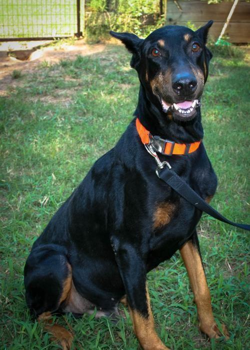 Doberman Pinscher Dog For Adoption In Cypress Tx Adn 49398 On