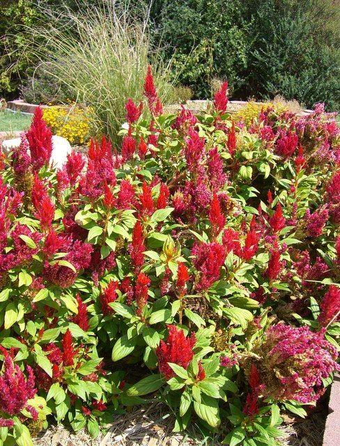 Denton County Master Gardener Association |  Heat-Hardy Plants at the DiG