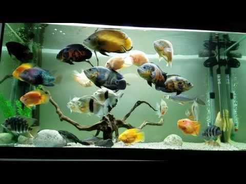 Image result for oscar  fish