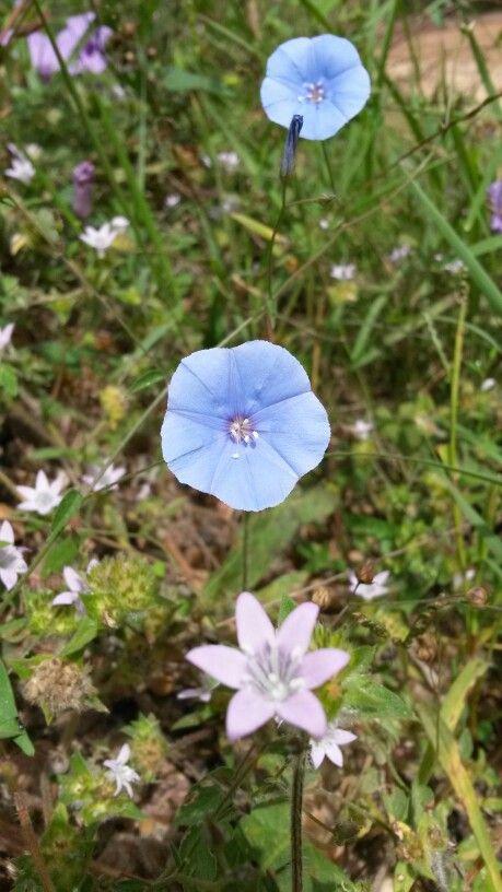 Flor da caatinga