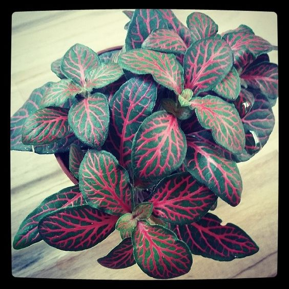 Houseplant #2- a fittonia. I had to put a heavy filter on it to show how vividly pink the veins are! @spiderplantshop is bad for my bank balance but good for the general air quality in my home, ha! #houseplant #home #plant #urbangardening: